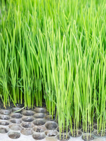 Tiny rice saplings ready to be planted in the field