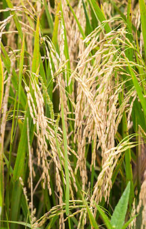 Closeup of rice plant in the field ready to be harvested