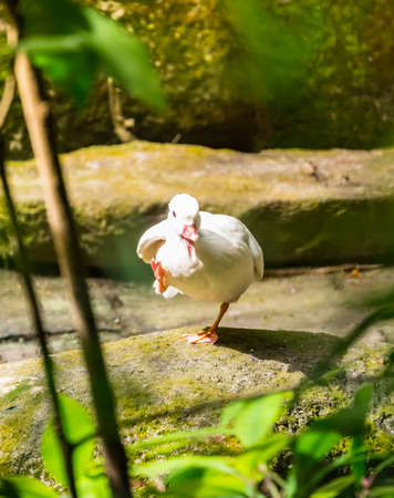 Funny white duck walking with indescribable feeling expresses