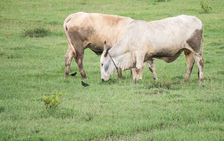 Two cows eating grass in the green field Stock Photo
