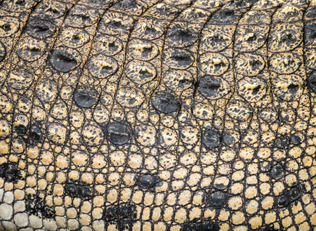 Closeup of the crocodile skin able to use as background Stock Photo