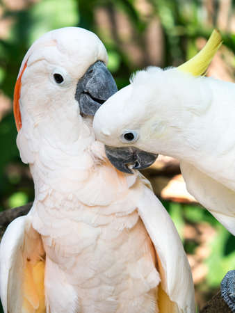 Pair of lovely cockatoo birds taking care each other Stock Photo