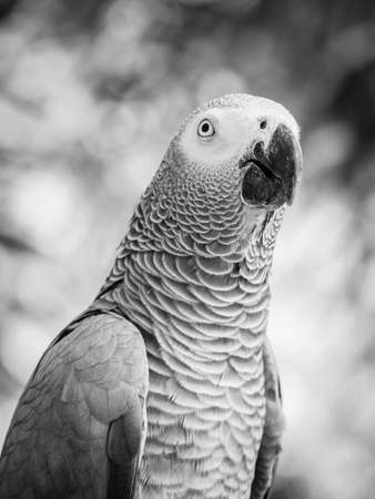 Portrait of african grey parrot in black and white Stock Photo