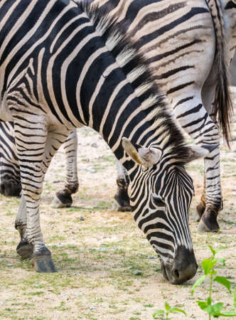 Zebra lower his head to eat grass Stock Photo