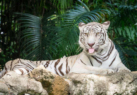 White bengal tiger laying on the rock sticking out his tongue Stock Photo - 60228160