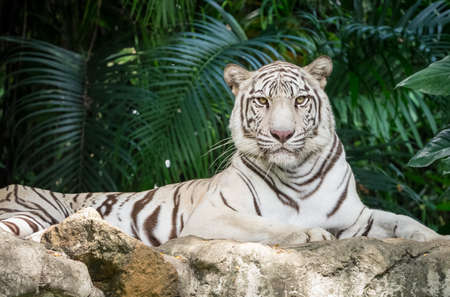 White bengal tiger laying on the rock staring at me
