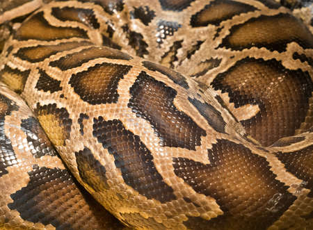 Brown snake skin showing many shiny scales Stock Photo
