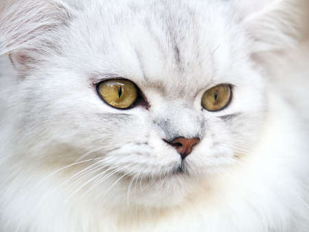 Closeup persian white cat focus on his eye