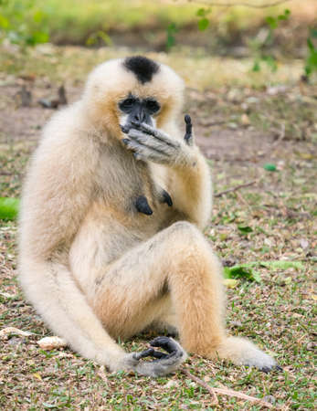 A Female gibbon closing her mouth sitting on the ground Stock Photo