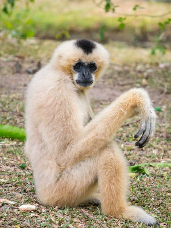 Portrait of a female gibbon sitting on the ground