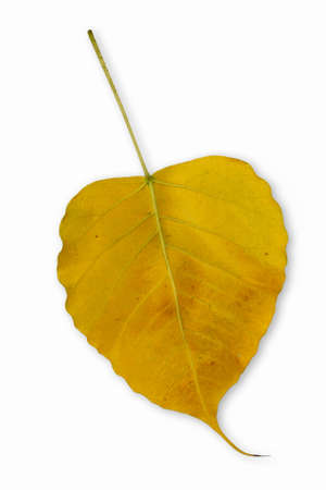 a yellow Bo leaves isolated photo