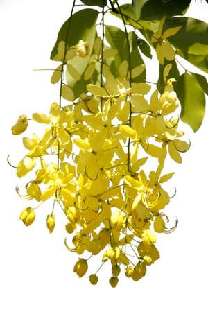 fistula: beautiful Flowering cassia