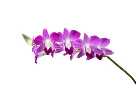 pink-purple Orchid flower blooming on summer photo