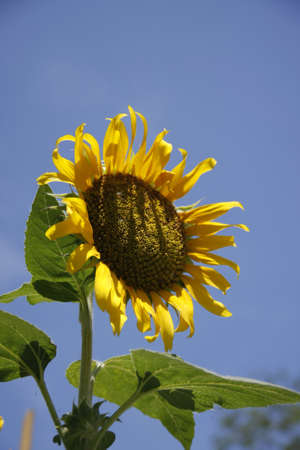 Sunflower Holds up to blue sky with white clouds on Bright blue days photo