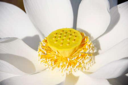 curare teneramente: bianco fiore di loto e il seme giallo, polline, fiore di buddista Archivio Fotografico