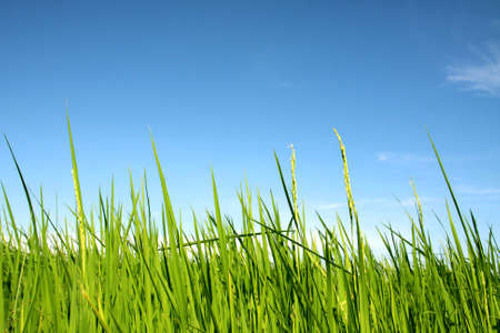 beautiful of green rice with blue sky for wallpaper and background photo