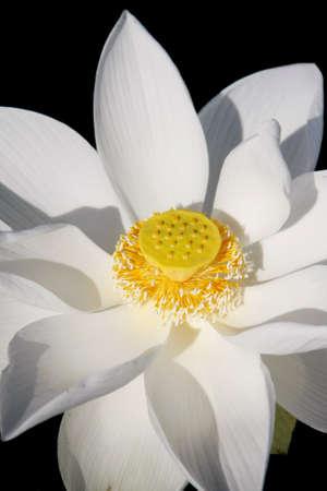 nelumbinis: white lotus flower and yellow seed, pollen, flower of buddhist