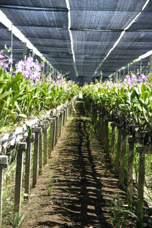 beautiful orchid farm agriculture under sunshade net