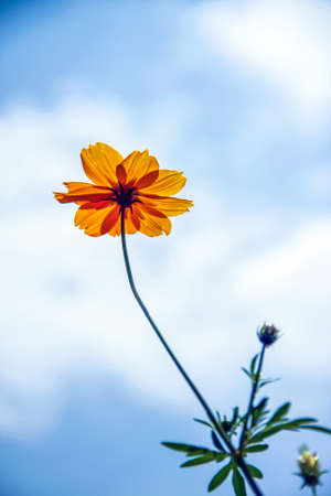 isolated orange ocomos spp flower with blue sky was beautiful photo
