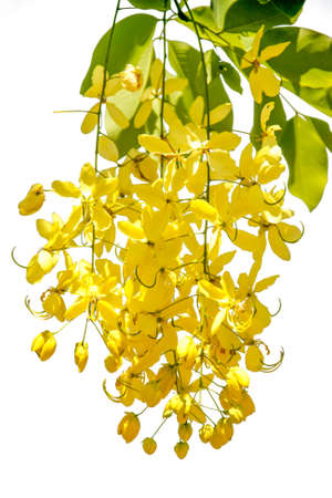 fistula: Beautiful Flowering cassia with isolated background