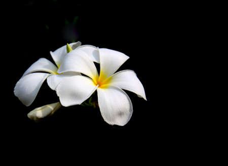 beautiful Frangipani flowers White petals Core yellow-gold photo
