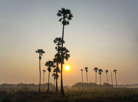 beautiful sugar palm trees on sunrise in morning photo
