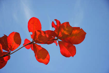 red bengal almond leaves with blue sky in bright day photo