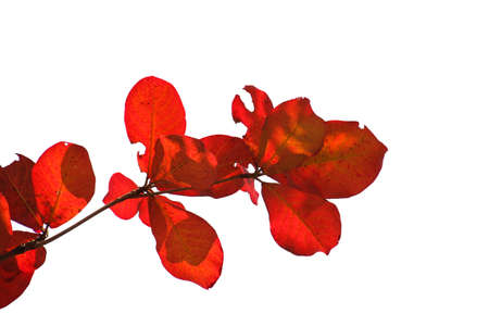 isolate red bengal almond leaves on white background