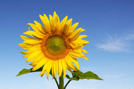 beautiful sunflower with blue sky in bright day photo