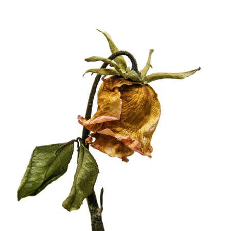 old and dry rose flower isolated on white background, heartbroken, love, lovelorn symbol