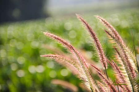 beautiful purple reeds flower under sunlight in spring season photo