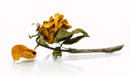 isolated old and dry rose flower on white photo
