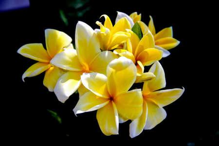 beautiful Frangipani flowers White petals Core yellow-gold photo