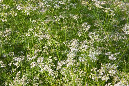 culantro: flores de cilantro