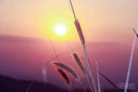 reeds flower with sunset on evening Stock Photo