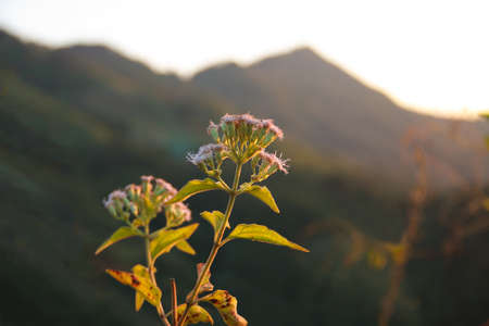 Bitter bush, Siam weed,  Eupatorium odoratum L. on afternoon with sunset light