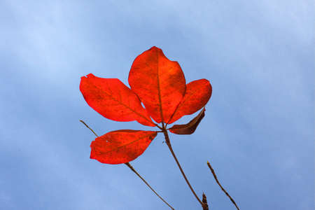 red almond leaves with blue sky Stock Photo