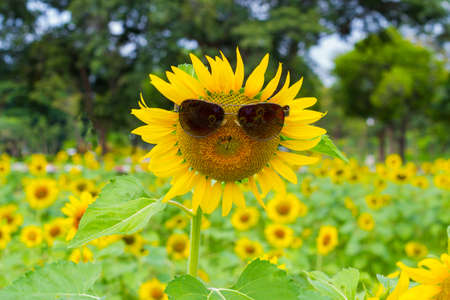 sun energy: Sunflower wearing sunglasses in farm and forest background