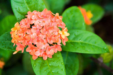 blooming orange ixoras flower in garden Stock Photo