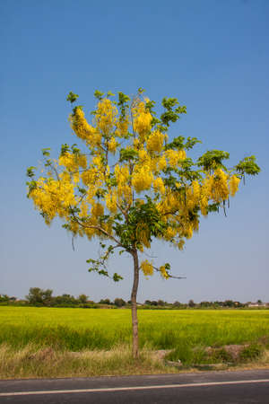 Cassia Fistula Images Stock Pictures Royalty Free Cassia