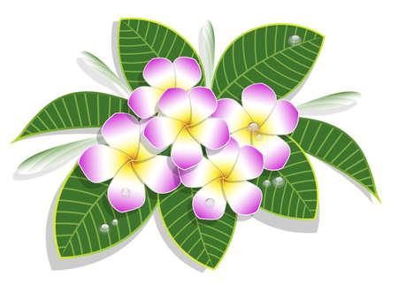 bouquet de plumeria rose sur fond blanc