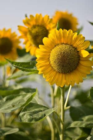 sun flower in the garden