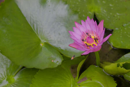 Purple lotus with green background