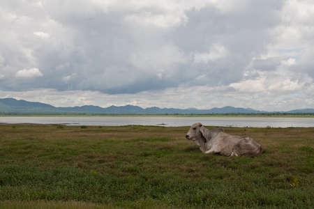 Cow on grassland