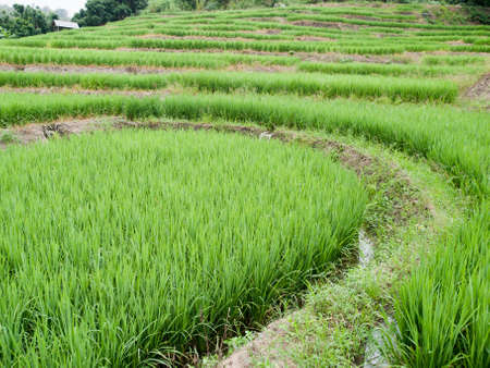 agriculturalist: Traditional Thai style rice growth Stock Photo