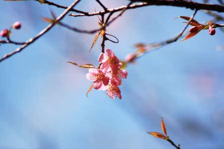Thaise Sakura bloeiende tijdens de winter in Thailand