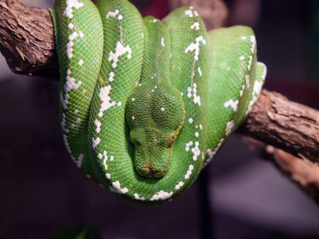inhabits: Emerald boa is a non-venomous boa species that inhabits the tropical rainforests of South America Stock Photo