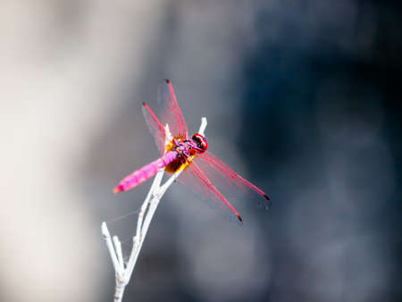 close up red dragonfly on branch photo