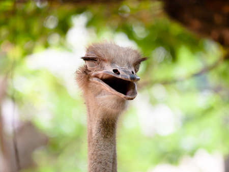 smile of a ridiculous ostrich close up