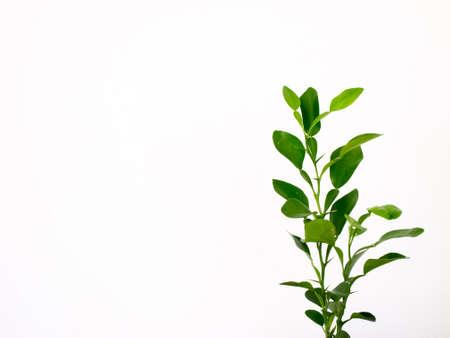 Close-up Kaffer kalk bladeren geïsoleerd op een witte achtergrond